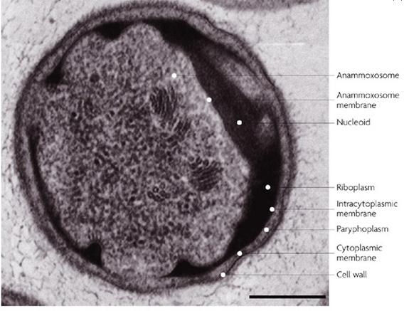 バクテリア ヒドラジンを生成する複合タンパク質を突き止めることに成功した」という。&nb