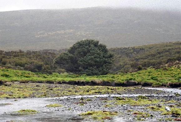 世界一孤独な樹木。ニュージーランドの最南部にあるキャンベル島に1本だけある針葉樹、ベイトウヒ(シトカスプルース)