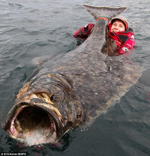どでかっ!体長2.1メートルの巨大オヒョウが釣り上げられる(ノルウェー)