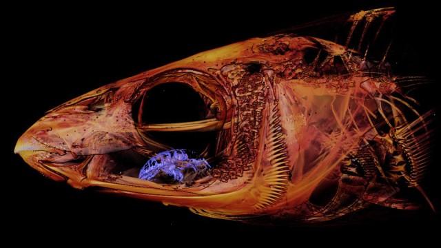 魚の舌になりすまし生き血を吸う「ウオノエ」の3Dスキャン写真