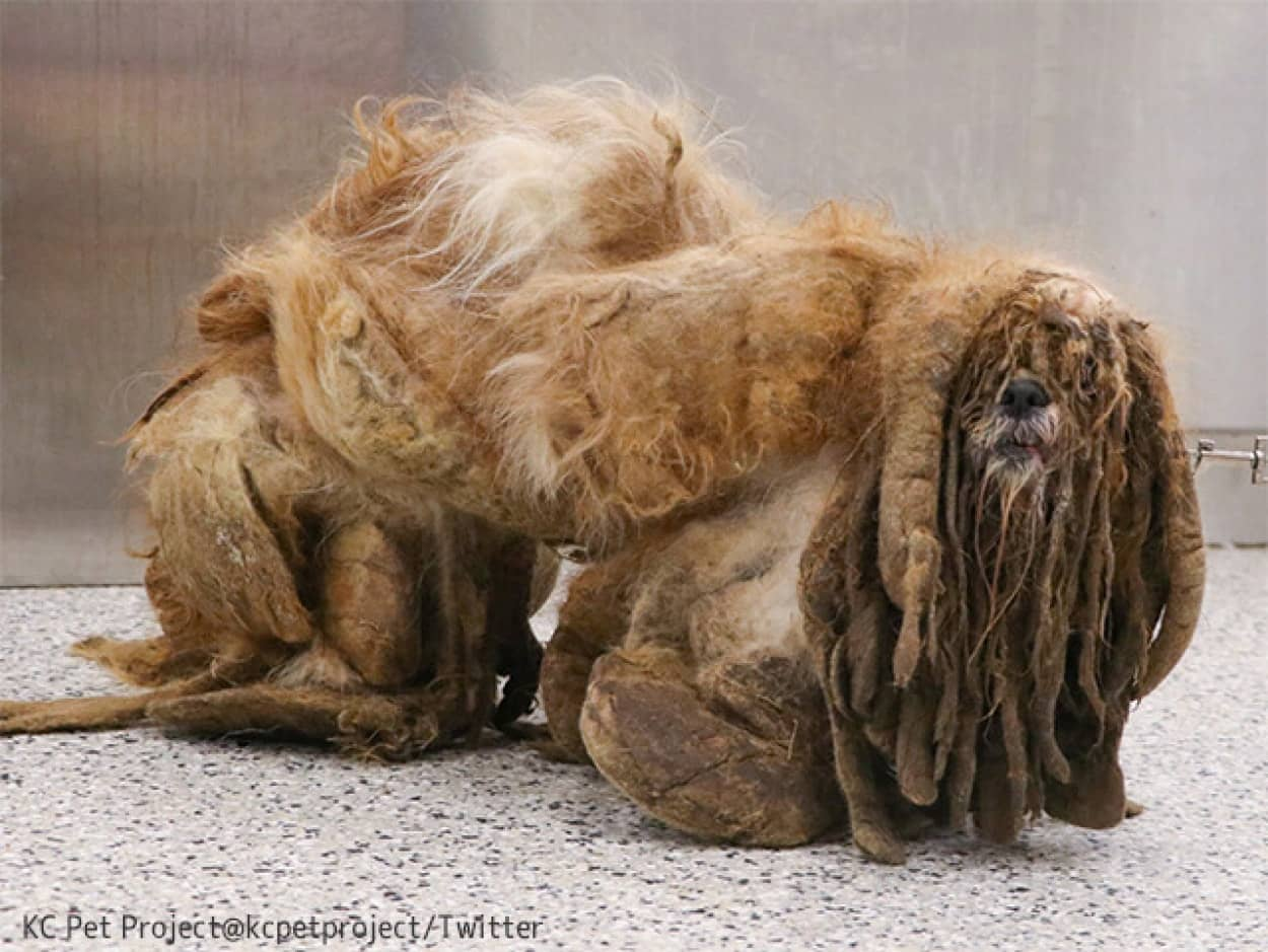 毛が伸びすぎて固まった状態で発見されたシーズー犬が第二の人生を始めるまでの物語