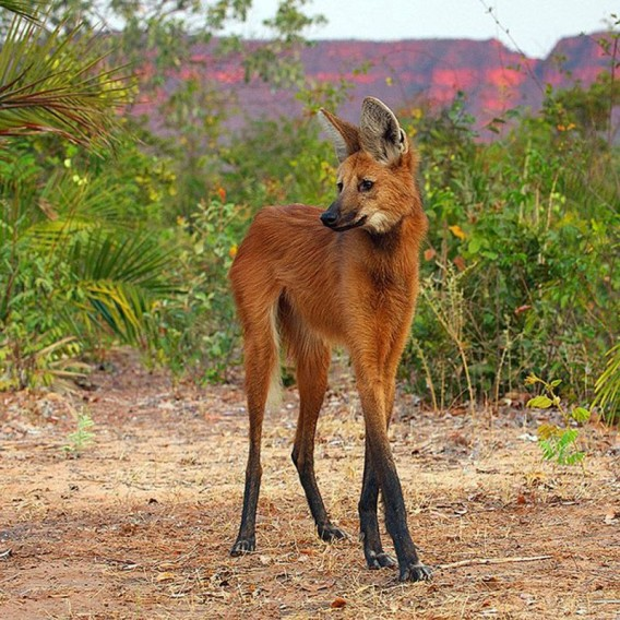 足ながっ!!どう見てもコラにしか見えない美脚の持ち主、南米のイヌ科最大種「タテガミオオカミ」
