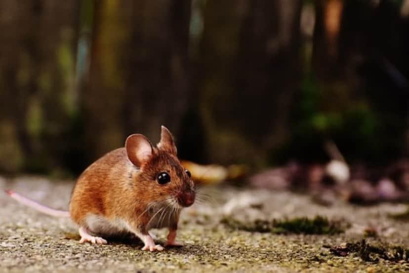 mouse-1708347_640_e