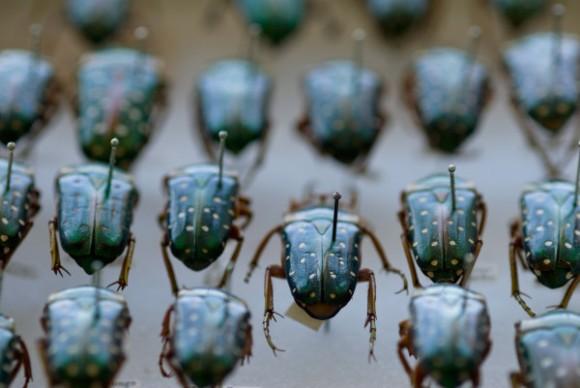 scarab beetles under skin