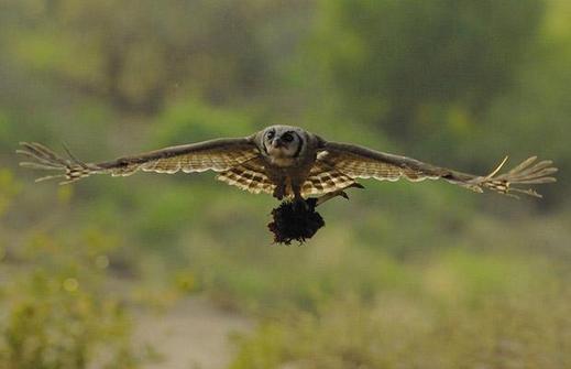 Giant-Eagle-Owl-Ib_1402385i