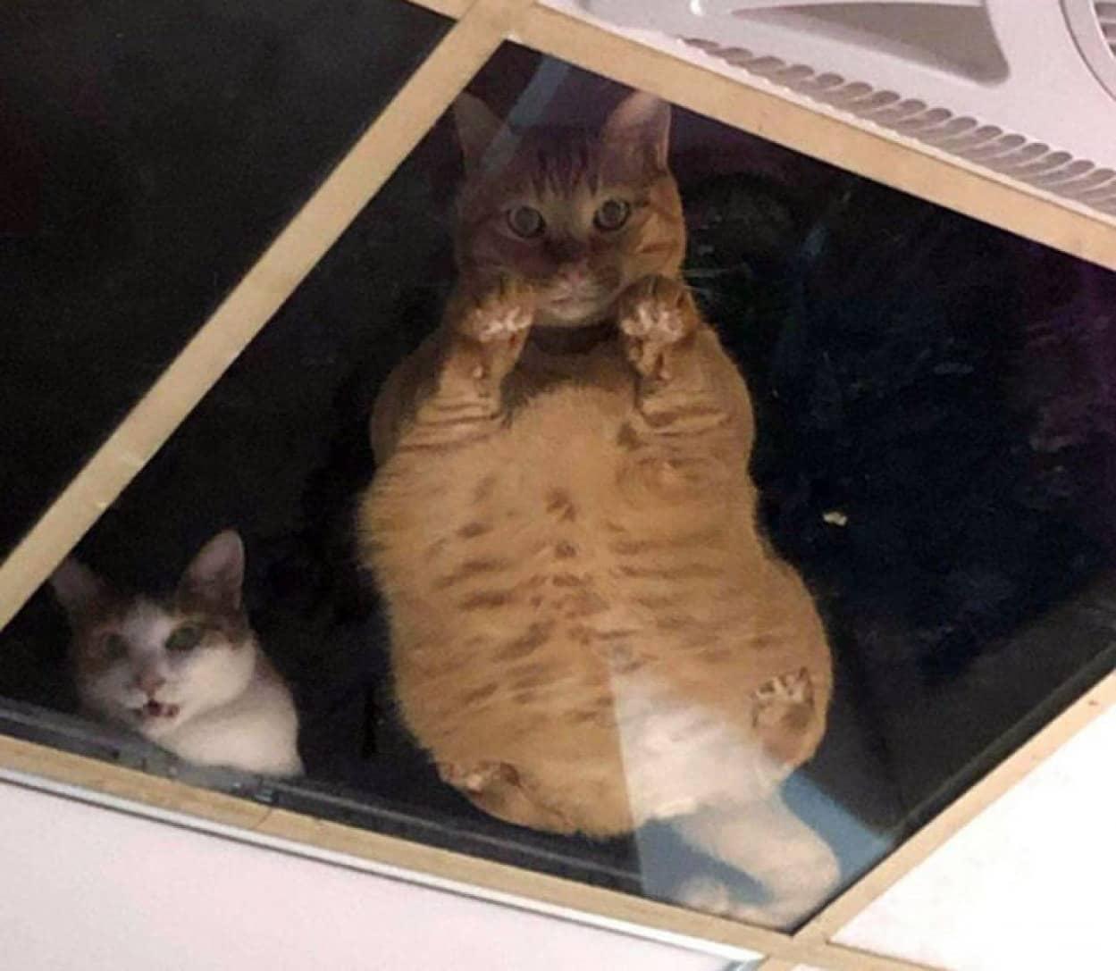 天井から人間を監視する猫たち