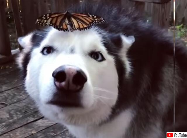 ハスキーと蝶々