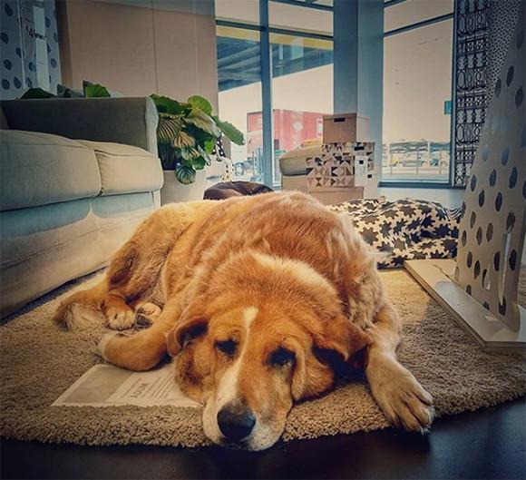 展示品かな?IKEAの店内のあちこちに本物の犬の姿が!イタリアのある店舗で始まった野良犬の保護活動