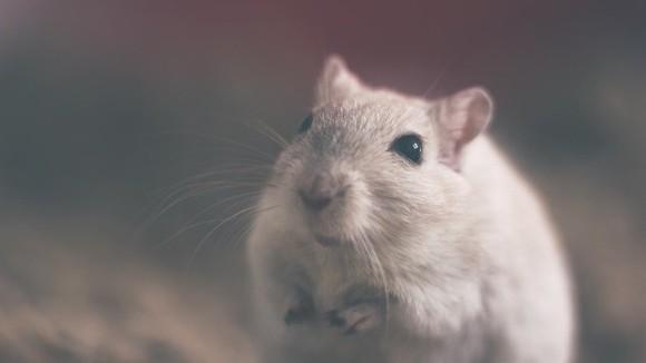 ネズミは人間と同じ共感力を持っている。傷ついている仲間を見ると悲しくなる(オランダ研究)