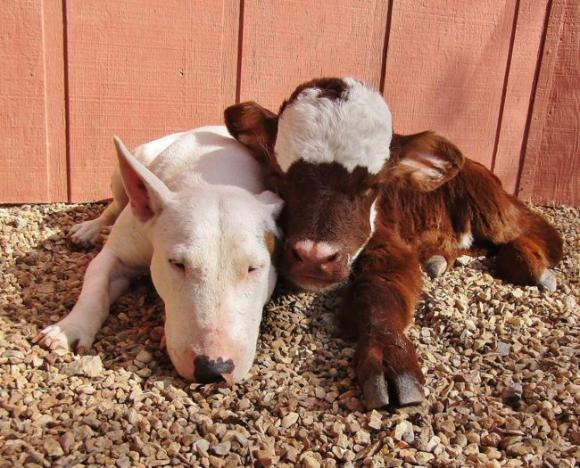ミニチュア牛、犬と親友になった結果犬化が進む。牛である事実をすっかり失念。「自分犬やし?」