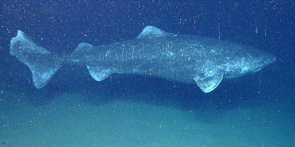 人類の不老不死は実現するか?400年をも生きるオンデンサメの遺伝子を絶賛解析中