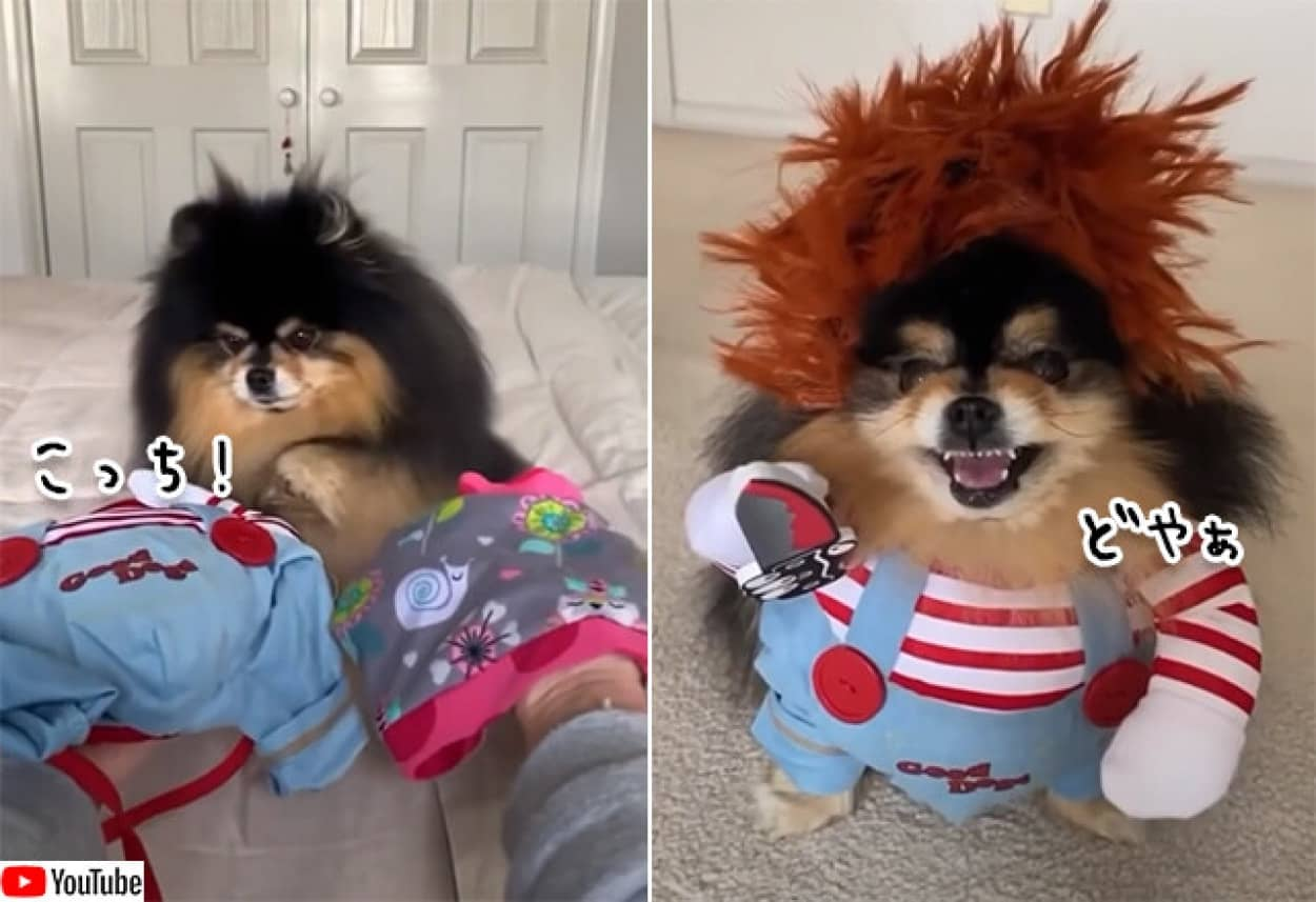 犬にハロウィンの衣装を選ばせてみた