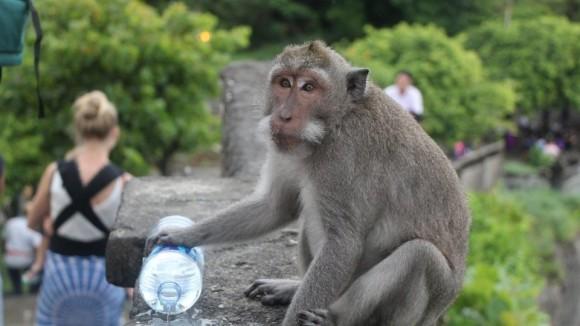 間から高価な品を奪って身代金を要求する猿