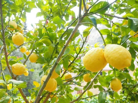 lemon-1117565_640_e