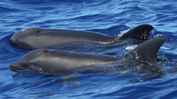 背徳の愛?イルカとクジラの交雑種が発見される(アメリカ・ハワイ)
