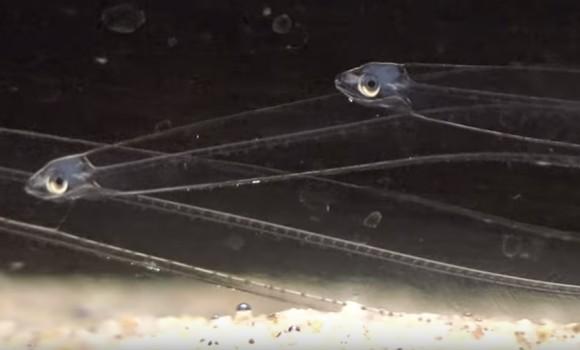 レプトケファルスの透明度が凄い!透明な柳の葉のような体でヒラヒラ泳ぐ神秘の幼生