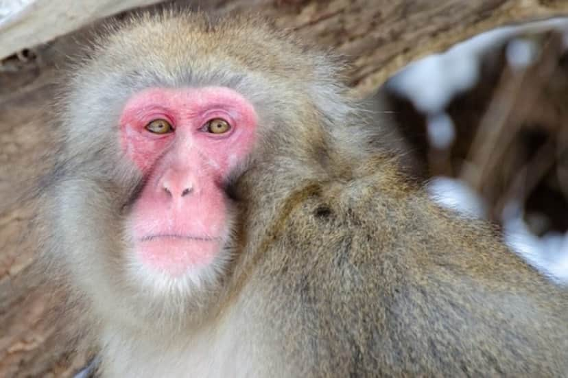 snow-monkey-3970281_640_e