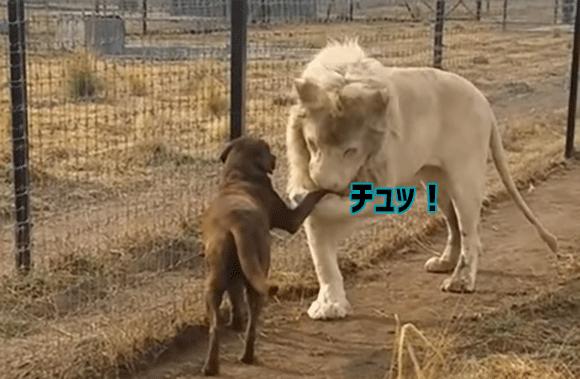ライオン・ザ・ジェントルマン!犬の前足をやさしく持ち上げそこにキスをするホワイトライオンの紳士っぷりったら