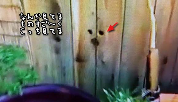 ただならぬ視線の先は・・・やっぱヤツがいた!見たがりな犬のために隣人女性、塀に穴を開ける。