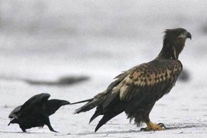 crowsnanimals15_e