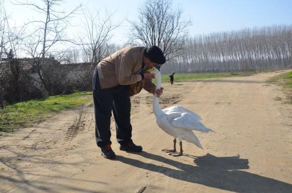 助けてくれた恩は一生忘れない。男性の傍に寄り添い続けて37年。深い愛情を示す白鳥の物語
