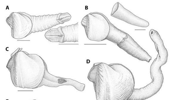 木を食べる珍しい二枚貝の珍種が発見される。その形状も食生活もチン妙すぎた(米研究)