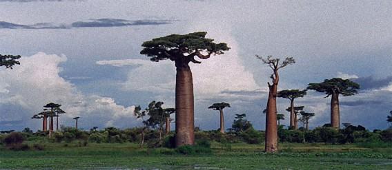 アフリカ伝説の万能薬、スーパー果実「バオバブの木の実」