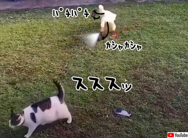 アヒルのパパラッチに追われる猫