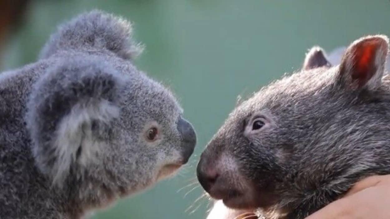 コアラとウォンバット