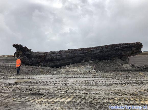 ニュージーランドで4万500年前の丸太が発見される。かつて起きた磁極逆転現象の謎をを解き明かすヒントを得られるか?