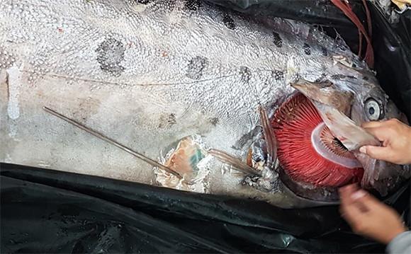漁師もびっくり。チリで神秘の深海魚「リュウグウノツカイ」がほぼ無傷の状態で捕獲される