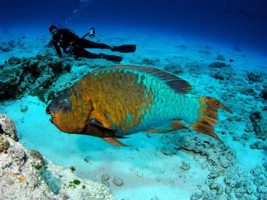 Rainbow-Parrot-Fish2