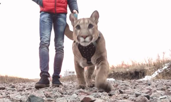 猛獣使いがリーダーの国だから?ペットとしてプーマを飼うロシアの家族