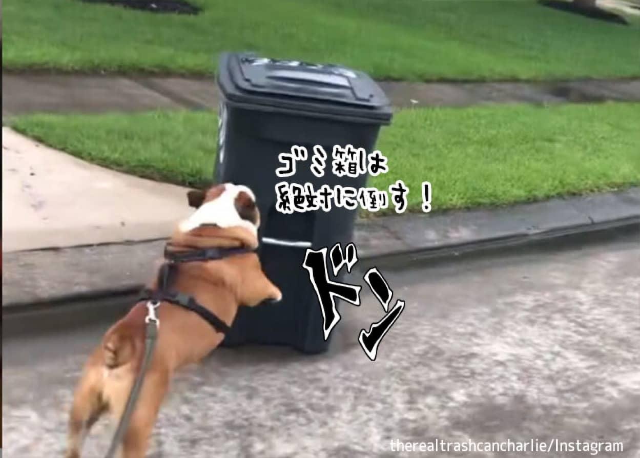 ゴミ箱を見かけると倒さずにはいられないブルドッグ