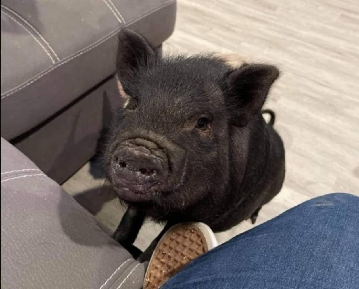 救われた豚