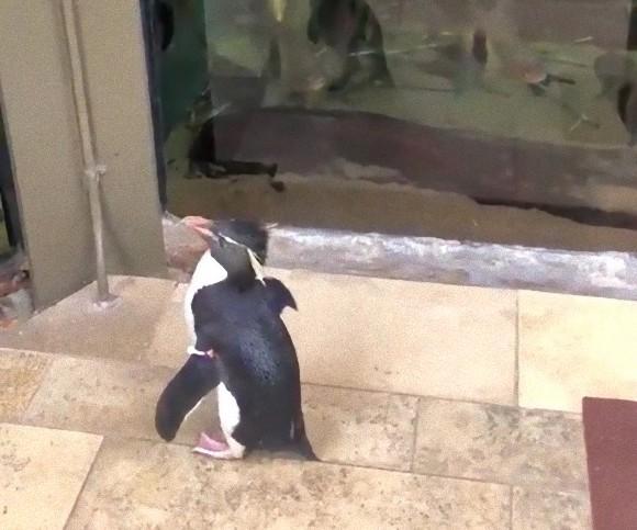 新型コロナウイルスの影響で休館となった水族館で、ペンギンがお客さんに。悠々と魚の水槽を見学中(アメリカ)