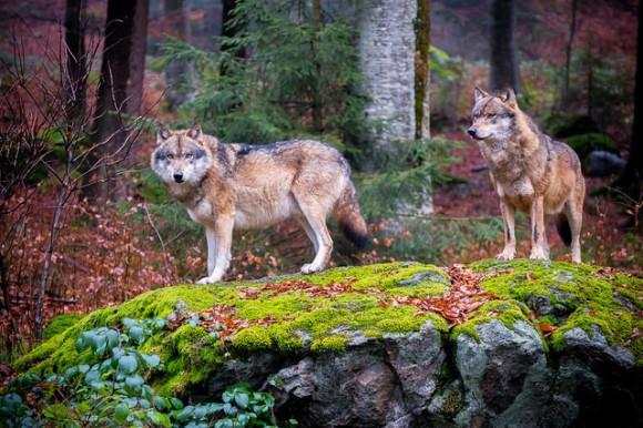 デンマークにオオカミたちが帰ってきた!絶滅したと思われていたオオカミの群れが200年ぶりに出現