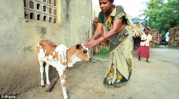 額に第三の目を持つ子牛が生まれる。シヴァ神の生まれ変わりとして崇拝対象に(インド)