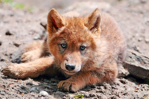 wolf_35