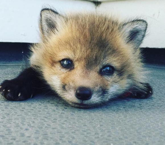 毛皮工場から救出された赤ちゃんキツネ。今ではハイキングが大好きな犬っぽいキツネに