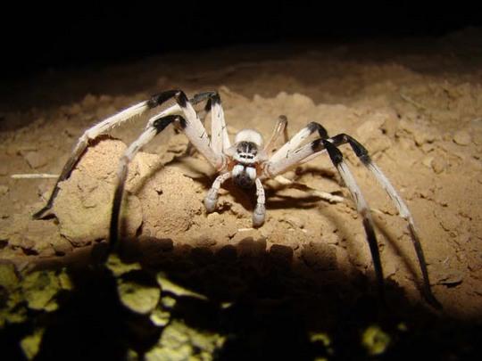 Dune Spider