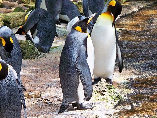 king-penguin-326746_640