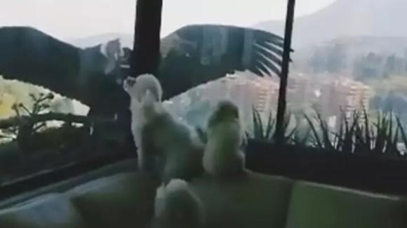 プードル犬、窓の外に突如現れた巨大なコンドルにびっくり!(チリ)