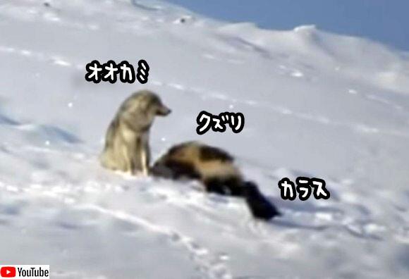 狼とクズリとカラスの奇妙な関係。クズリが狼の尻尾をガブリ!カラスはずっと傍観者。