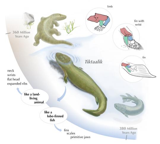 2対のヒレを持つ魚が四肢動物に...