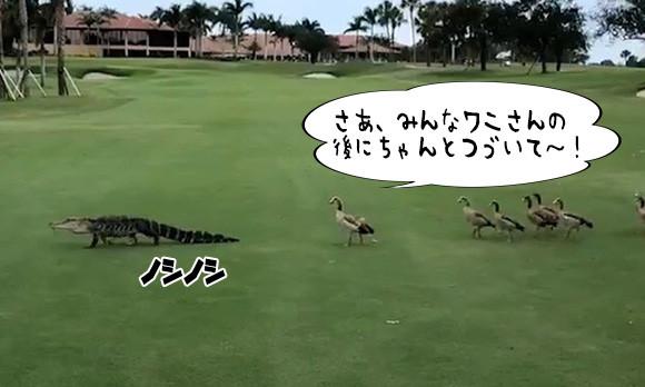 リーダーはワニ。ゴルフ場を横断するワニの後についていくガチョウの家族(アメリカ)