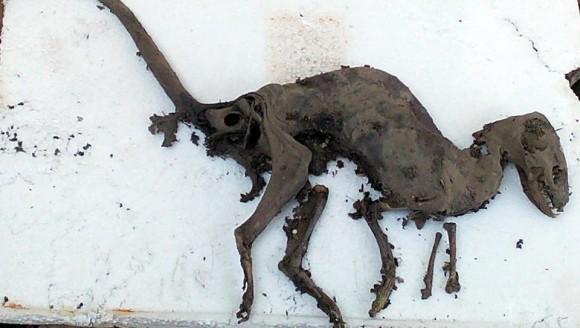 本当に恐竜なら世紀の大発見。化石ではなくミイラ化した恐竜そっくりの死体が発見される(インド)
