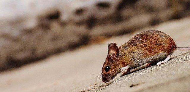デザイナータンパク質で麻痺から回復したマウス