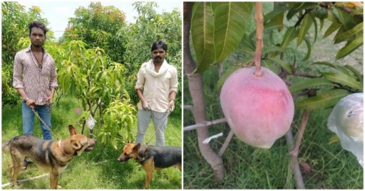 インドで見知らぬ人から特別な苗を購入して育てたら宮崎マンゴーだった件