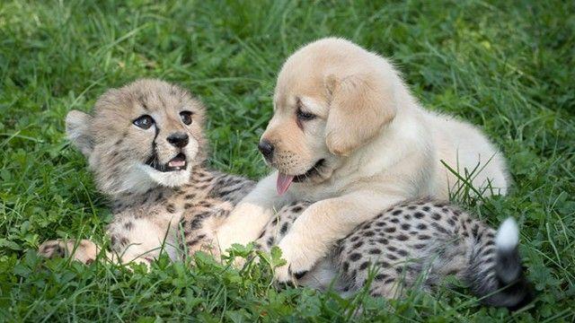 犬ってやっぱりすごい。犬と過ごすことでチーターの緊張と恥ずかしがりが改善されるらしい。